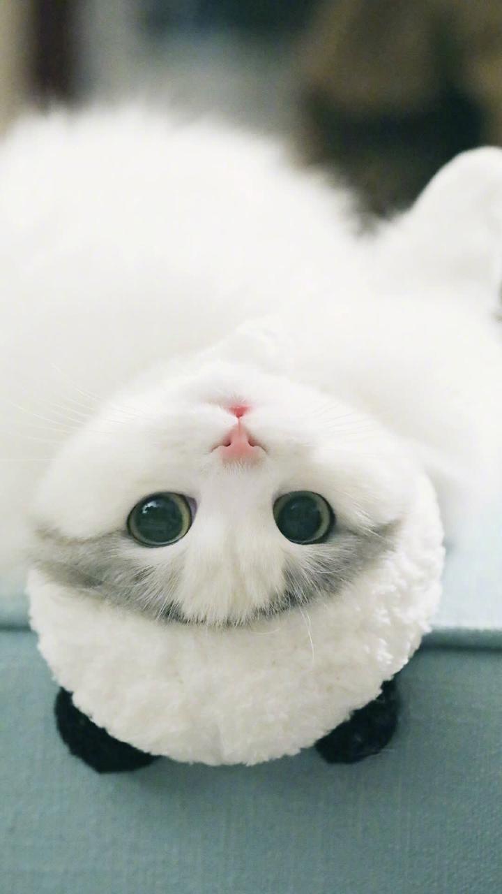 Hình nền mèo ngáo