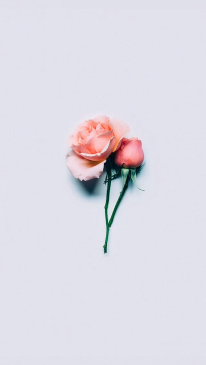 Hình nền bông hoa hồng